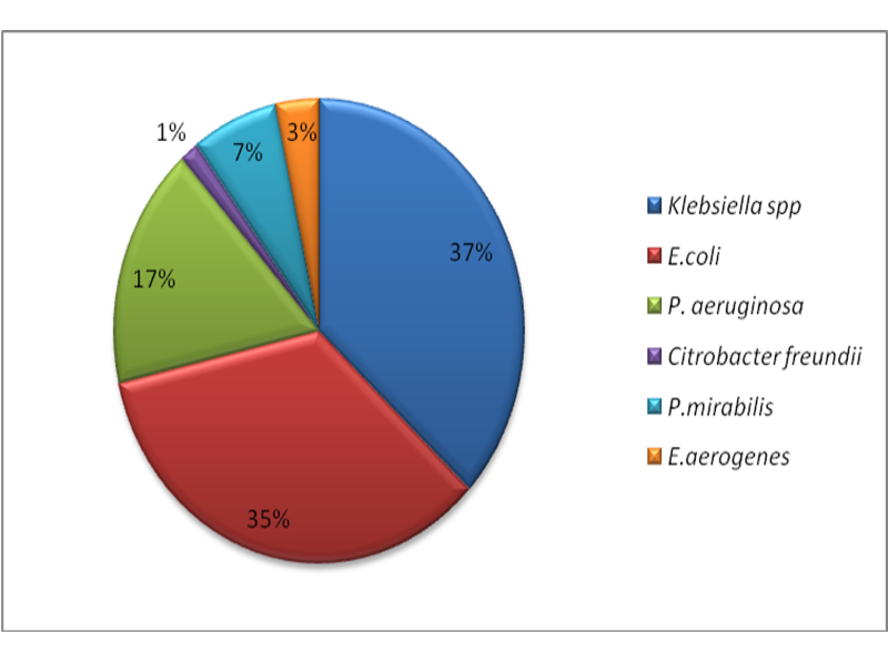Proportion of species involved in ESBL production in the study (n = 206)